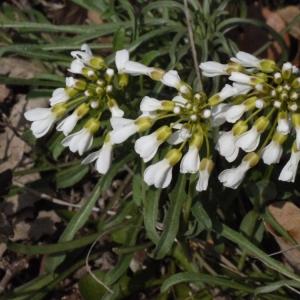 Photographie n°113084 du taxon Noccaea praecox subsp. praecox