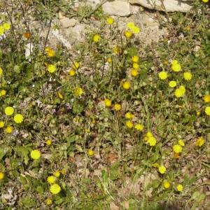 Photographie n°113137 du taxon Crepis sancta (L.) Bornm. [1913]