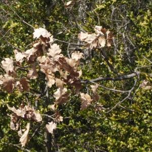 Photographie n°113140 du taxon Quercus pubescens Willd. [1805]