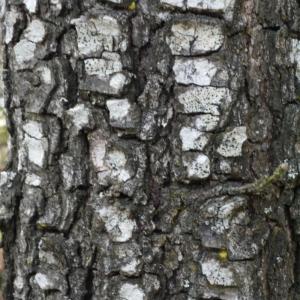 Photographie n°113142 du taxon Quercus pubescens Willd. [1805]