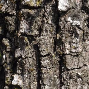 Photographie n°113143 du taxon Quercus pubescens Willd. [1805]