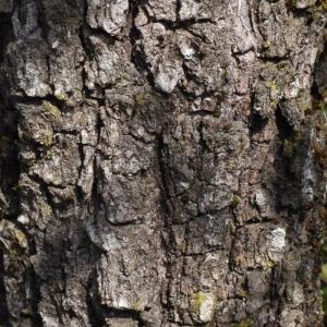 Photographie n°113144 du taxon Quercus pubescens Willd. [1805]