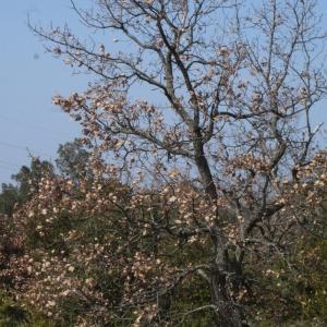 Photographie n°113145 du taxon Quercus pubescens Willd. [1805]