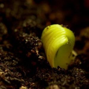 - Cucurbitaceae