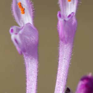 Lamium amplexicaule L. subsp. amplexicaule (Lamier à feuilles embrassantes)