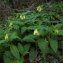 Florent Beck - Symphytum tuberosum L.