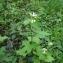 Florent Beck - Alliaria petiolata (M.Bieb.) Cavara & Grande