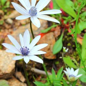 Anemone hortensis L. subsp. hortensis (Anémone des jardins)