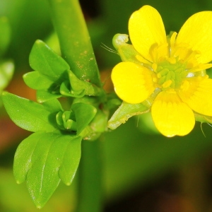 Photographie n°113358 du taxon Ranunculus muricatus L.