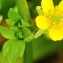 Marie  Portas - Ranunculus muricatus L.