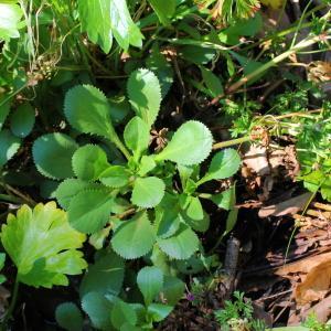 Photographie n°113361 du taxon Myconia chrysanthemum Sch.Bip. [1844]