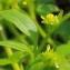 Marie  Portas - Ranunculus muricatus L. [1753]