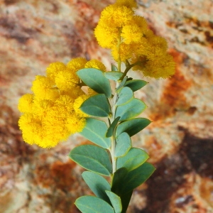 - Acacia cultriformis A.Cunn. ex G.Don