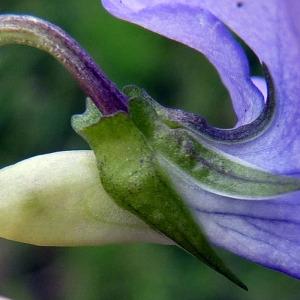 Viola x bavarica Schrank (Violette intermédiaire)