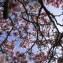 magnolias [nn] par Annie Giroud le 10/04/2013