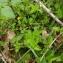 Florent Beck - Lysimachia nemorum L.