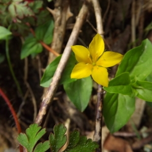 Lysimachia nemorum L. (Lysimaque des bois)