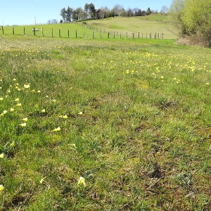 Photographie n°113499 du taxon Narcissus bulbocodium subsp. citrinus (Baker) Fern.Casas [1982]