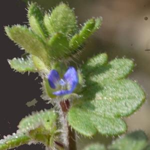 Photographie n°113635 du taxon Veronica hederifolia subsp. triloba (Opiz) Celak. [1871]