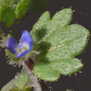 Photographie n°113637 du taxon Veronica hederifolia subsp. triloba (Opiz) Celak. [1871]