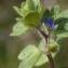Liliane Roubaudi - Veronica hederifolia subsp. triloba (Opiz) Celak. [1871]
