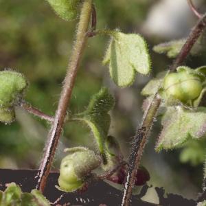 Photographie n°113640 du taxon Veronica hederifolia subsp. triloba (Opiz) Celak. [1871]