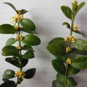 Photographie n°113667 du taxon Buxus sempervirens L. [1753]