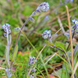 - Myosotis ramosissima subsp. ramosissima