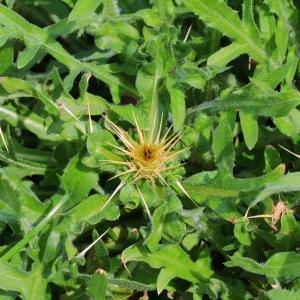 Photographie n°113677 du taxon Centaurea calcitrapa L. [1753]