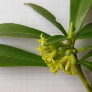 Photographie n°113691 du taxon Daphne laureola L. [1753]
