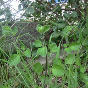 Photographie n°113717 du taxon Salpichroa origanifolia (Lam.) Baill. [1888]