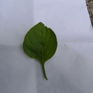 Photographie n°113718 du taxon Salpichroa origanifolia (Lam.) Baill. [1888]