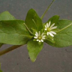 Photographie n°113780 du taxon Stellaria media (L.) Vill. [1789]