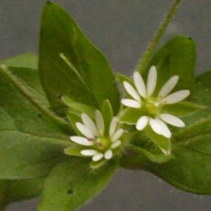 Photographie n°113781 du taxon Stellaria media (L.) Vill. [1789]