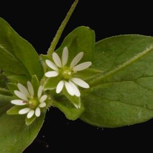 Photographie n°113783 du taxon Stellaria media (L.) Vill. [1789]
