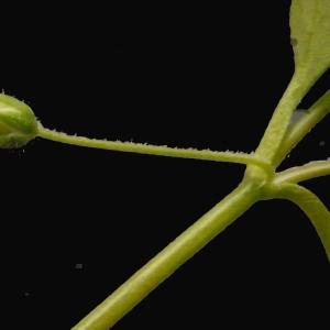 Photographie n°113785 du taxon Stellaria media (L.) Vill. [1789]