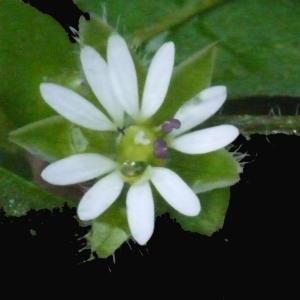 Photographie n°113794 du taxon Stellaria media (L.) Vill. [1789]