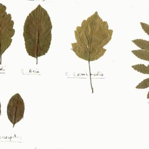 Photographie n°113833 du taxon Sorbus L.