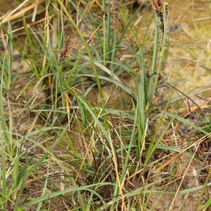 Photographie n°113843 du taxon Carex flacca Schreb. [1771]