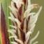 John De Vos - Carex flacca Schreb. [1771]