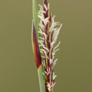 Photographie n°113846 du taxon Carex flacca Schreb. [1771]