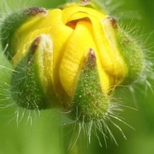 Photographie n°113869 du taxon Ranunculus bulbosus L. [1753]