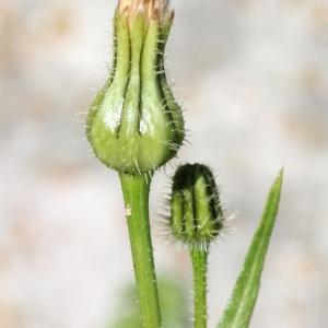 Photographie n°113908 du taxon Urospermum picroides (L.) Scop. ex F.W.Schmidt [1795]