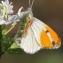 Alliaria petiolata (M.Bieb.) Cavara & Grande [1913] [nn2913] par Gilles Salama le 14/04/2013 - Balma