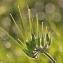 Gilles SALAMA - Erodium moschatum (L.) L'Hér. [1789]