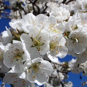 Photographie n°114019 du taxon Prunus avium (L.) L. [1755]