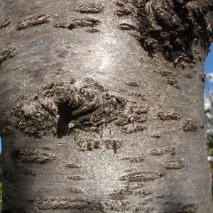Photographie n°114021 du taxon Prunus avium (L.) L. [1755]