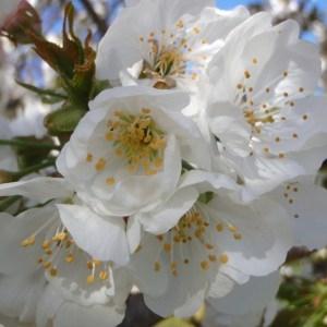 Photographie n°114022 du taxon Prunus avium (L.) L. [1755]