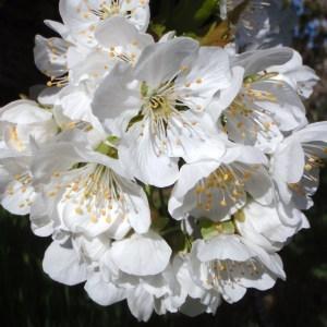 Photographie n°114023 du taxon Prunus avium (L.) L. [1755]