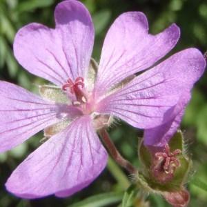 Geranium tuberosum L. (Géranium tubéreux)